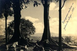seringueiras seculares no jardim 1937